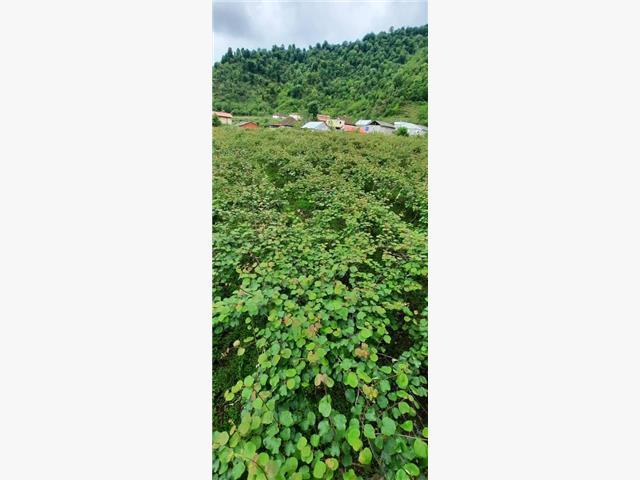 فروش باغ کیوی 2000متری در استارا